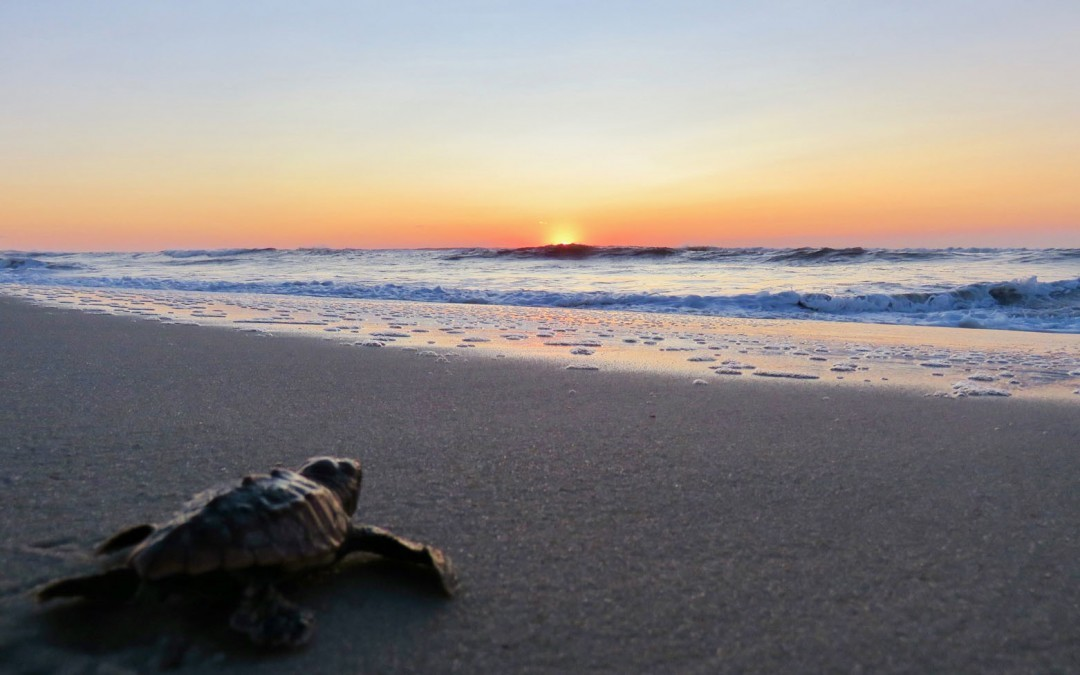 Assateague Sees 1st Batch of Successfully Hatched Loggerhead Turtles — Baltimore Fishbowl