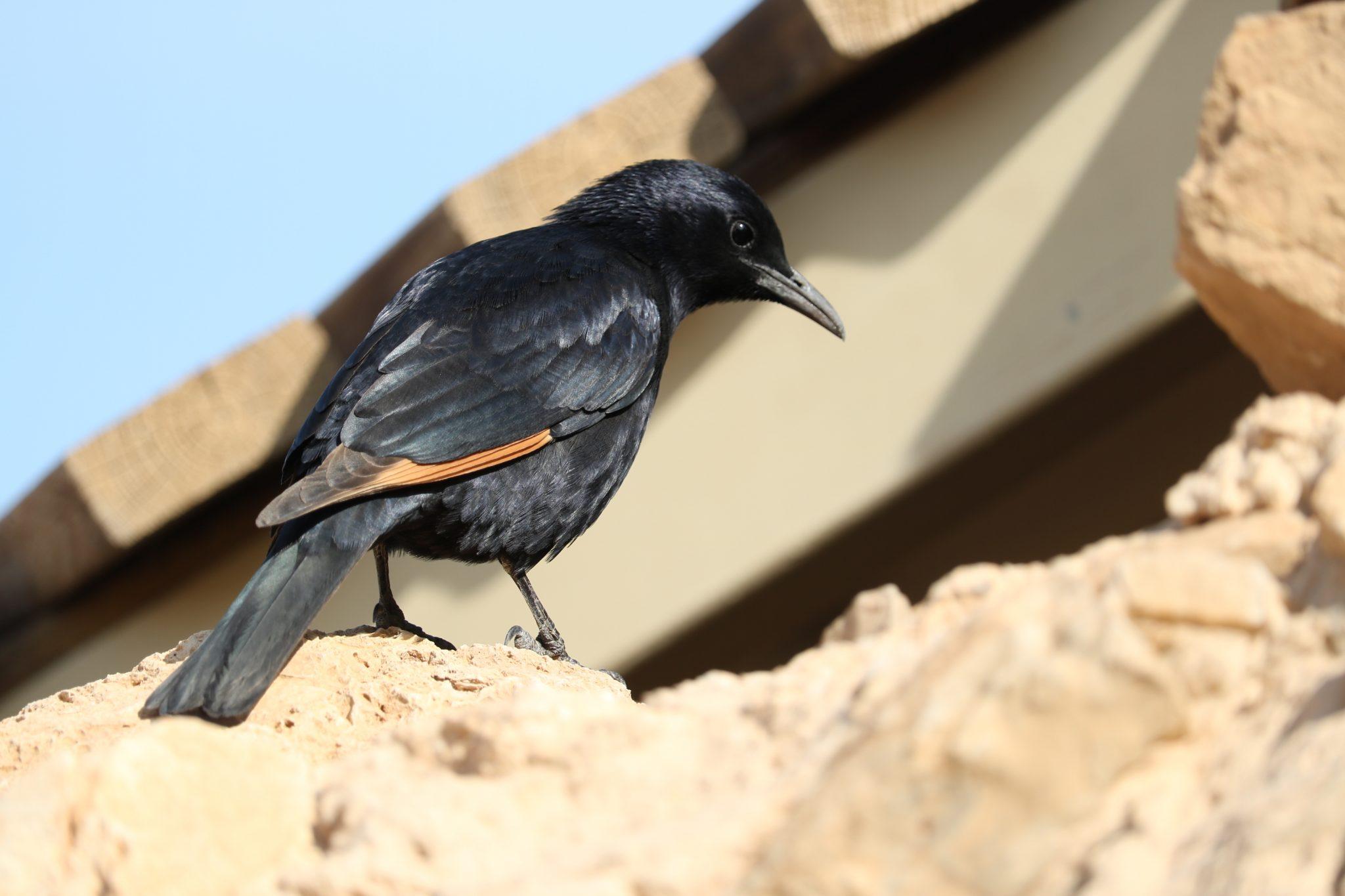 Birthright Bird