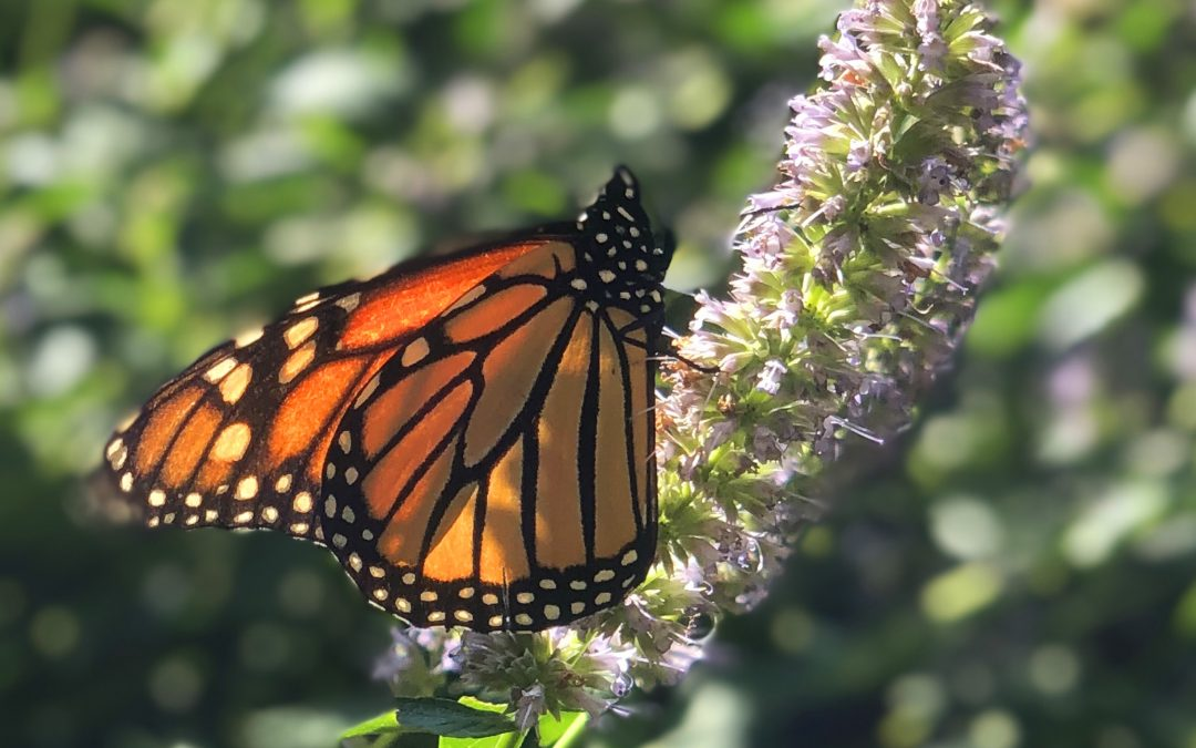 Garden Variety: Monarchs are amazing butterflies and your garden can help them soar.