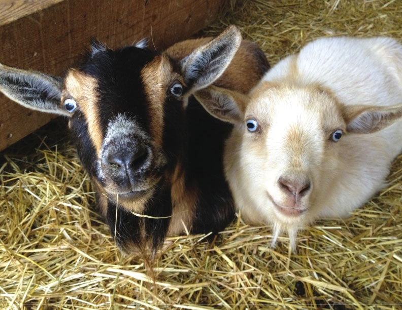 The Pearlstone Center Wants to Get Your Goat