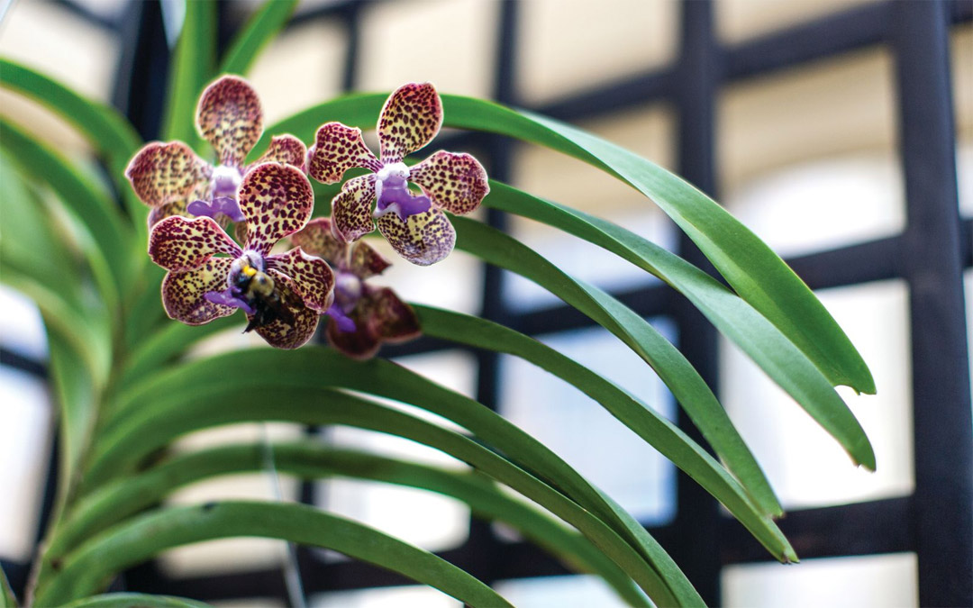 An orchid, a vanda Mimi Palmer hybrid flower. (Photo by Justin Tsucalas)