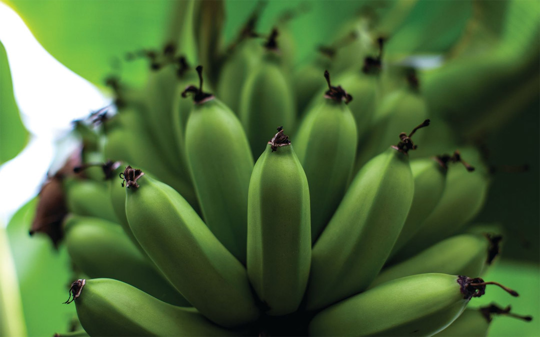 The Banana Dwarf Cavendish grows in parts of Asia for mass cultivation. (Photo by Justin Tsucalas)